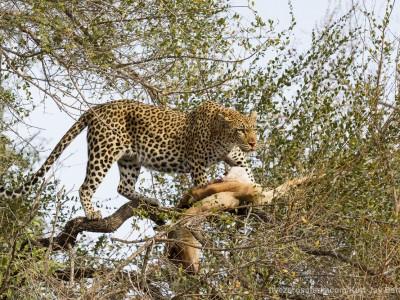 photo safari, photographic safari, wildlife photographic safari, photo tour, photo workshop, when to go, best, fivezero safaris, five zero, safari, kurt jay bertels, south africa, kruger national park, sari sands, leopard, cub, eating, tree