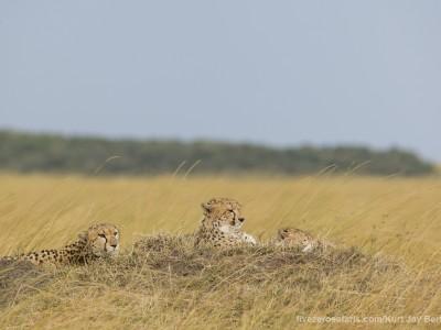 cheetah, cubs, photo safari, photographic safari, wildlife photographic safari, photo tour, photo workshop, when to go, best, fivezero safaris, five zero, safari, kurt jay bertels, kenya, masai mara, great migration,