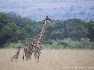 giraffe, masai giraffe, baby, young, calf, photo safari, photographic safari, wildlife photographic safari, photo tour, photo workshop, when to go, best, fivezero safaris, five zero, safari, kurt jay bertels, kenya, masai mara, great migration,