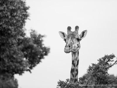 giraffe, masai giraffe, photo safari, photographic safari, wildlife photographic safari, photo tour, photo workshop, when to go, best, fivezero safaris, five zero, safari, kurt jay bertels, kenya, masai mara,
