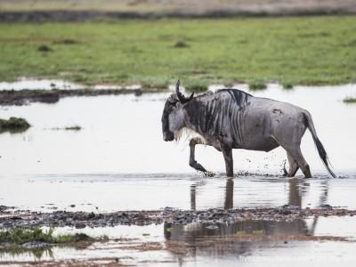 elephants, photo safari, photographic safari, wildlife photographic safari, photo tour, photo workshop, when to go, best, fivezero safaris, five zero, safari, kurt jay bertels, kenya, amboseli, amboseli national park, wildlebeest
