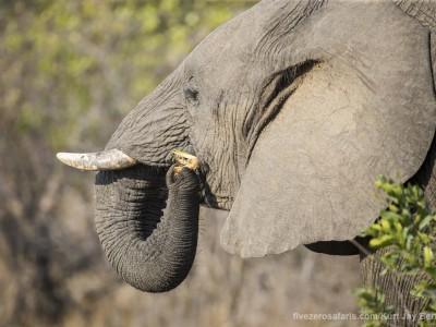 photo safari, photographic safari, wildlife photographic safari, photo tour, photo workshop, when to go, best, fivezero safaris, five zero, safari, kurt jay bertels, south africa, kruger national park, sari sands, elephant, eating
