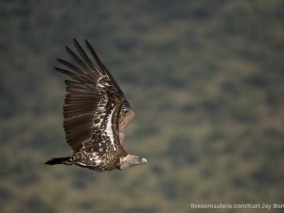 ruppels griffon, vulture, flying, photo safari, photographic safari, wildlife photographic safari, photo tour, photo workshop, when to go, best, fivezero safaris, five zero, safari, kurt jay bertels, kenya, masai mara, great migration,