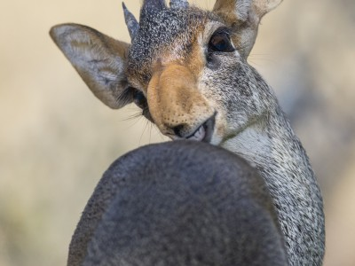 photo safari, photographic safari, wildlife photographic safari, photo tour, photo workshop, when to go, best, fivezero safaris, five zero, safari, kurt jay bertels, kenya, samburu, kirks dikdik, dik-dik