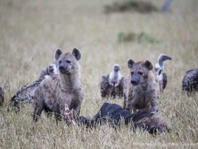 hyena, spotted hyena, feeding, kill, photo safari, photographic safari, wildlife photographic safari, photo tour, photo workshop, when to go, best, fivezero safaris, five zero, safari, kurt jay bertels, kenya, masai mara,
