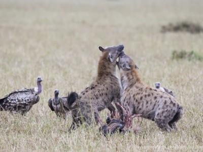 hyena, spotted hyena, kill, fighting, photo safari, photographic safari, wildlife photographic safari, photo tour, photo workshop, when to go, best, fivezero safaris, five zero, safari, kurt jay bertels, kenya, masai mara,