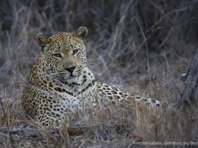 photo safari, photographic safari, wildlife photographic safari, photo tour, photo workshop, when to go, best, fivezero safaris, five zero, safari, kurt jay bertels, south africa, kruger national park, sari sands, male, leopard