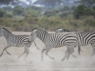 elephants, photo safari, photographic safari, wildlife photographic safari, photo tour, photo workshop, when to go, best, fivezero safaris, five zero, safari, kurt jay bertels, kenya, amboseli, amboseli national park, zebra, running