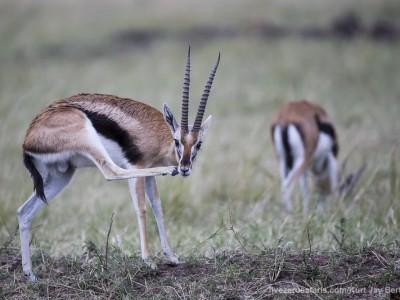 thomsons gazelle, photo safari, photographic safari, wildlife photographic safari, photo tour, photo workshop, when to go, best, fivezero safaris, five zero, safari, kurt jay bertels, kenya, masai mara, great migration,