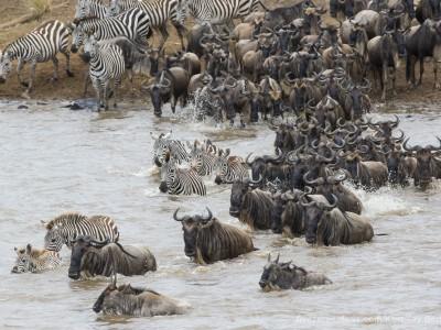 river crossing, wildebeest, mara river, photo safari, photographic safari, wildlife photographic safari, photo tour, photo workshop, when to go, best, fivezero safaris, five zero, safari, kurt jay bertels, kenya, masai mara,