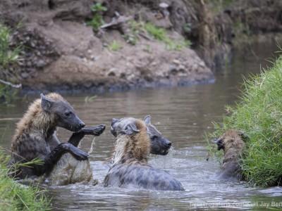 spotted hyena, playing fun, hyena, water, photo safari, photographic safari, wildlife photographic safari, photo tour, photo workshop, when to go, best, fivezero safaris, five zero, safari, kurt jay bertels, kenya, masai mara, great migration,