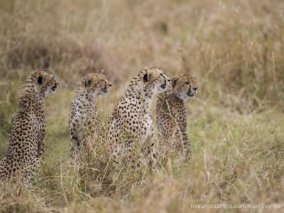 photo safari, photographic safari, wildlife photographic safari, photo tour, photo workshop, when to go, best, fivezero safaris, five zero, safari, kurt jay bertels, kenya, masai mara, cheetah