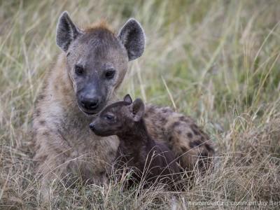 photo safari, photographic safari, wildlife photographic safari, photo tour, photo workshop, when to go, best, fivezero safaris, five zero, safari, kurt jay bertels, kenya, masai mara, great migration, hyena, cub, young, baby, den