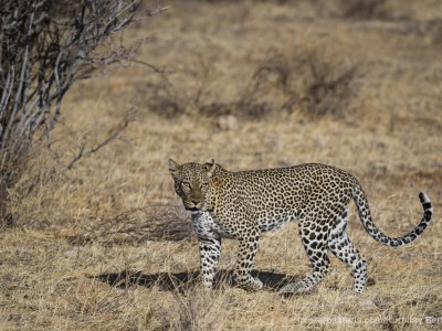 photo safari, photographic safari, wildlife photographic safari, photo tour, photo workshop, when to go, best, fivezero safaris, five zero, safari, kurt jay bertels, kenya, samburu, leopard