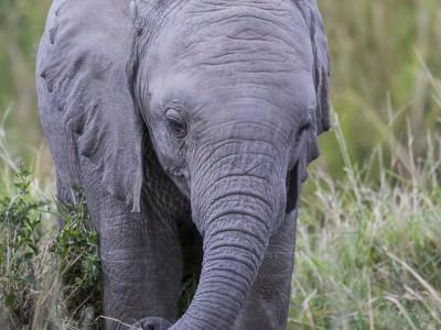 elephant, baby, photo safari, photographic safari, wildlife photographic safari, photo tour, photo workshop, when to go, best, fivezero safaris, five zero, safari, kurt jay bertels, kenya, masai mara, great migration,