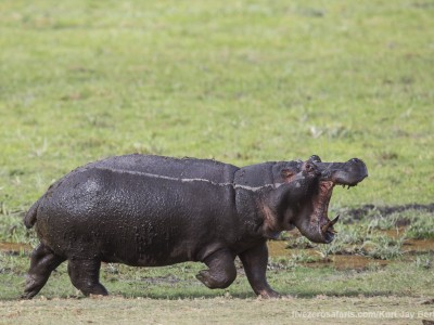 elephants, photo safari, photographic safari, wildlife photographic safari, photo tour, photo workshop, when to go, best, fivezero safaris, five zero, safari, kurt jay bertels, kenya, amboseli, amboseli national park, hippo, angry
