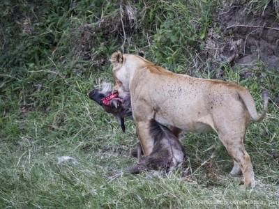 photo safari, photographic safari, wildlife photographic safari, photo tour, photo workshop, when to go, best, fivezero safaris, five zero, safari, kurt jay bertels, kenya, masai mara, great migration, lioness, kill, wildebeest