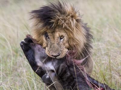 lion, kill, dragging, photo safari, photographic safari, wildlife photographic safari, photo tour, photo workshop, when to go, best, fivezero safaris, five zero, safari, kurt jay bertels, kenya, masai mara, great migration,