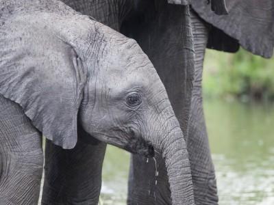 elephant, baby, young, calf, photo safari, photographic safari, wildlife photographic safari, photo tour, photo workshop, when to go, best, fivezero safaris, five zero, safari, kurt jay bertels, kenya, masai mara, great migration,