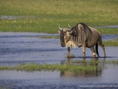 elephants, photo safari, photographic safari, wildlife photographic safari, photo tour, photo workshop, when to go, best, fivezero safaris, five zero, safari, kurt jay bertels, kenya, amboseli, amboseli national park, wildebeest