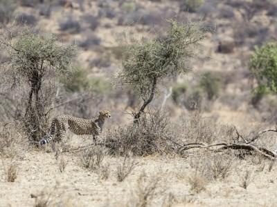 photo safari, photographic safari, wildlife photographic safari, photo tour, photo workshop, when to go, best, fivezero safaris, five zero, safari, kurt jay bertels, kenya, samburu, cheetah