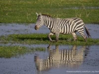 elephants, photo safari, photographic safari, wildlife photographic safari, photo tour, photo workshop, when to go, best, fivezero safaris, five zero, safari, kurt jay bertels, kenya, amboseli, amboseli national park, zebra