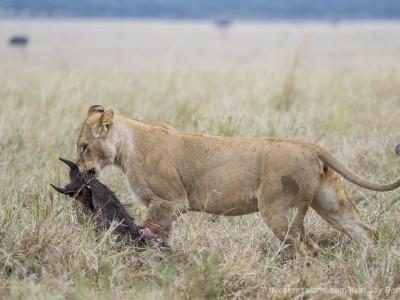 lioness, kill, dragging, photo safari, photographic safari, wildlife photographic safari, photo tour, photo workshop, when to go, best, fivezero safaris, five zero, safari, kurt jay bertels, kenya, masai mara, great migration,