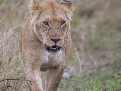 lioness, photo safari, photographic safari, wildlife photographic safari, photo tour, photo workshop, when to go, best, fivezero safaris, five zero, safari, kurt jay bertels, kenya, masai mara, great migration,