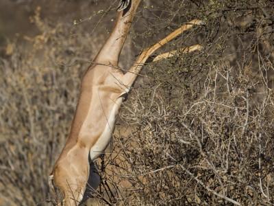 photo safari, photographic safari, wildlife photographic safari, photo tour, photo workshop, when to go, best, fivezero safaris, five zero, safari, kurt jay bertels, kenya, samburu, gerenuk standing, feeding
