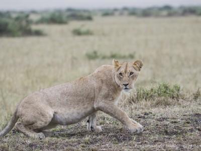 lioness, lion, photo safari, photographic safari, wildlife photographic safari, photo tour, photo workshop, when to go, best, fivezero safaris, five zero, safari, kurt jay bertels, kenya, masai mara,