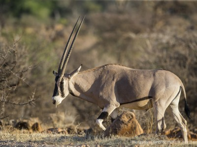 photo safari, photographic safari, wildlife photographic safari, photo tour, photo workshop, when to go, best, fivezero safaris, five zero, safari, kurt jay bertels, kenya, samburu, beisa oryx