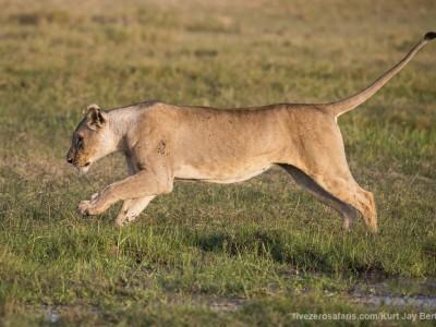 elephants, photo safari, photographic safari, wildlife photographic safari, photo tour, photo workshop, when to go, best, fivezero safaris, five zero, safari, kurt jay bertels, kenya, amboseli, amboseli national park, lion, jumping, water