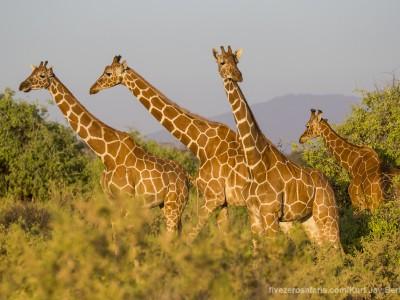 photo safari, photographic safari, wildlife photographic safari, photo tour, photo workshop, when to go, best, fivezero safaris, five zero, safari, kurt jay bertels, kenya, samburu, reticulated giraffe