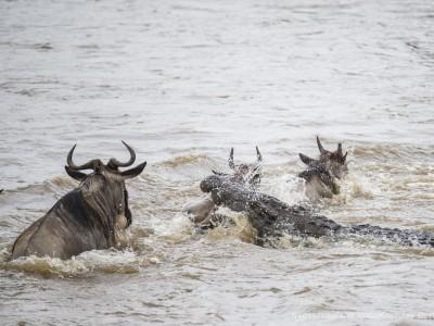 crocodile kill, croc kill, wildebeest, photo safari, photographic safari, wildlife photographic safari, photo tour, photo workshop, when to go, best, fivezero safaris, five zero, safari, kurt jay bertels, kenya, masai mara, great migration,