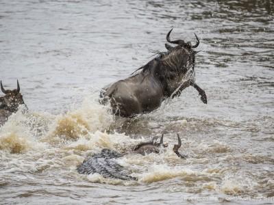 croc kill, wildebeest, mara river, photo safari, photographic safari, wildlife photographic safari, photo tour, photo workshop, when to go, best, fivezero safaris, five zero, safari, kurt jay bertels, kenya, masai mara, great migration,