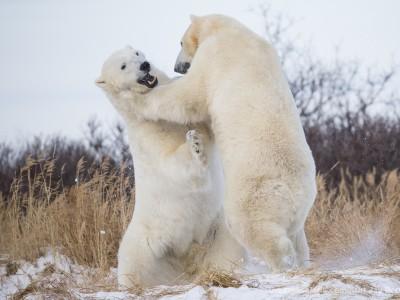 photo safari, photographic safari, wildlife photographic safari, photo tour, photo workshop, when to go, best, fivezero safaris, five zero, safari, kurt jay bertels, canada, churchill, polar bear, playing, fighting, sparring