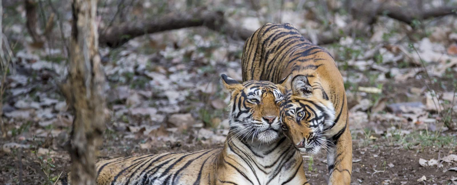 Permalink to The Tiger Safari Wrap up