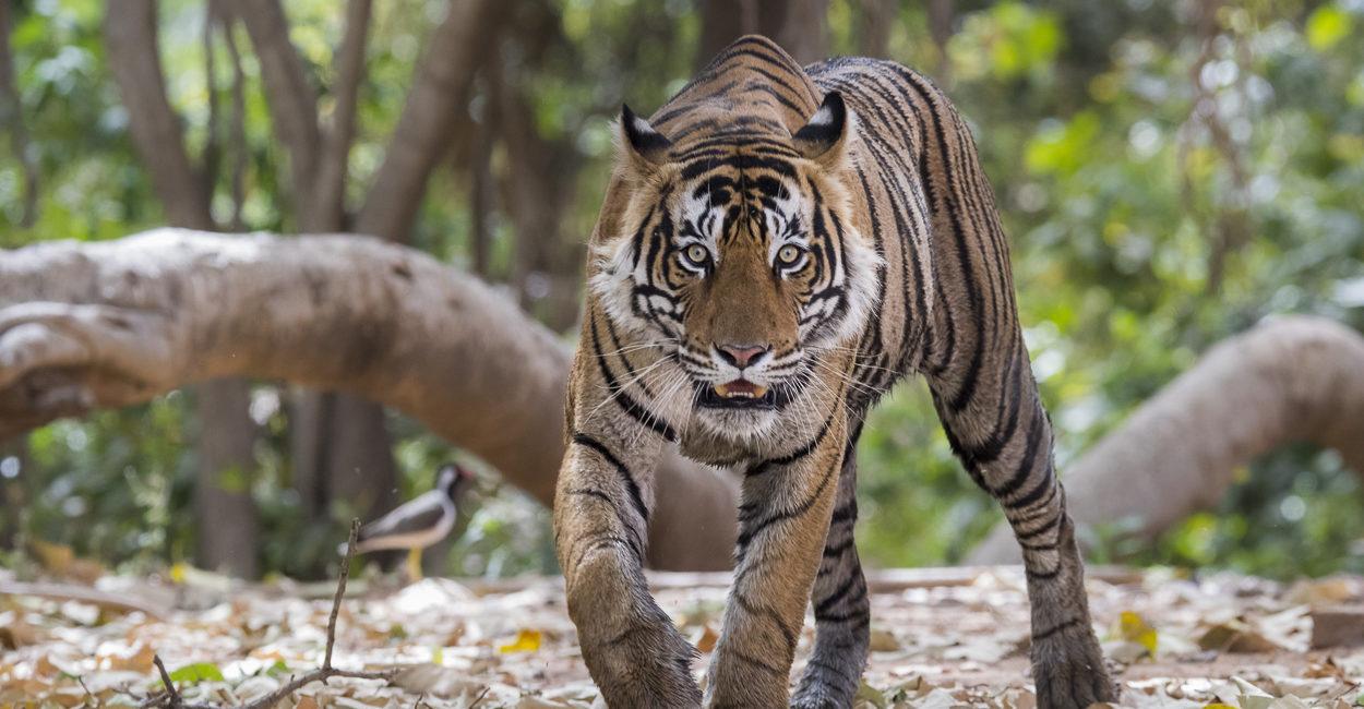 Permalink to The Tiger Safari – April 2017