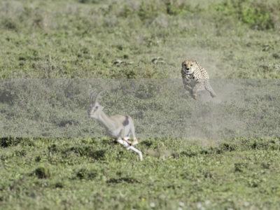 Permalink to The Cheetah Safari in Tanzania