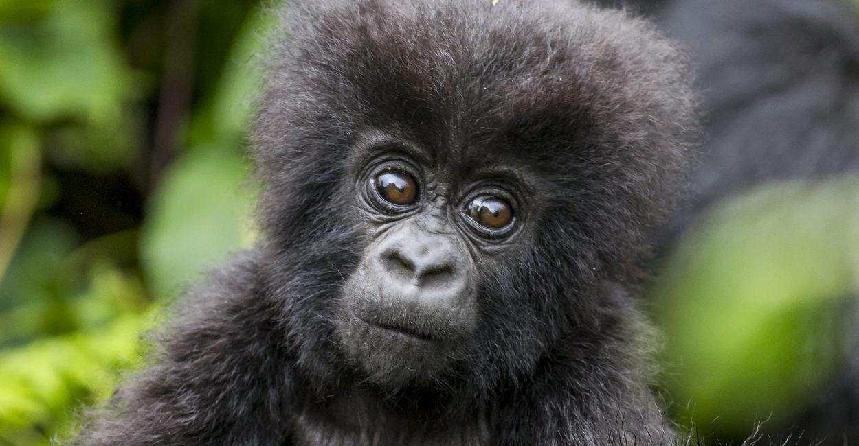 Permalink to The Gorilla Safari Wrap Up