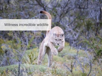 FiveZero Safaris, safari, Chile, puma, mountain lion