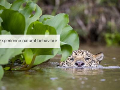 Jaguar Safari, FiveZero Safaris