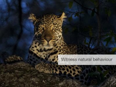 leopard safari, FiveZero Safaris