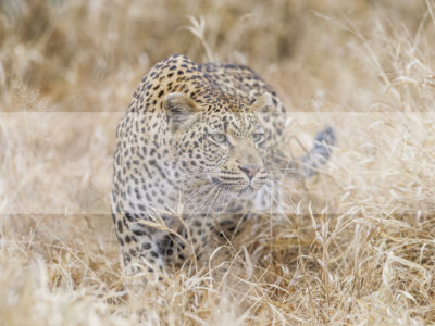 Permalink to The Leopard Safari in South Africa